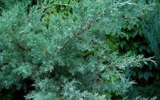 Как вырастить можжевельник виргинский из семян