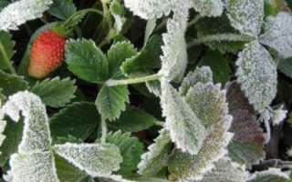 Защита клубники от мороза — как правильно укрывать на зиму