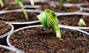 Замочить семена петрушки в водке перед посевом: пошаговая инструкция как быстро прорастить, а также влияние на всхожесть такой обработки накануне посадки