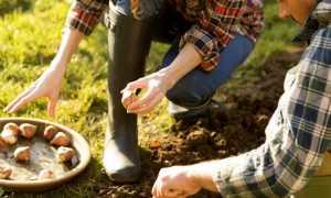 Как сажать луковичные в зиму