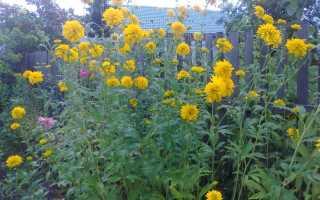 Как вырастить цветы золотой шар в саду?