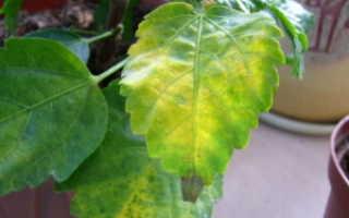 Желтеют листья у гибискуса комнатного: почему это происходит, по какой причине появляются пятна