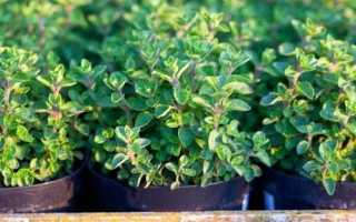 Душица на подоконнике — как вырастить хороший урожай самостоятельно?