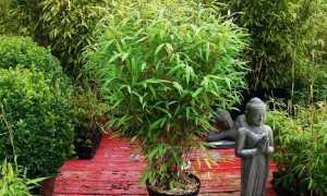 Арундинария (Комнатный бамбук, тростник)