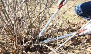 Как правильно обрезать и сформировать кусты крыжовника и смородины