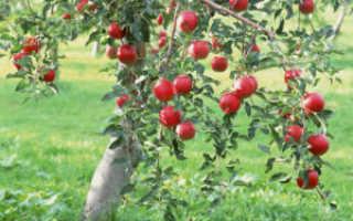 Как вырастить СВОИ саженцы яблони для себя и на продажу – посадка и уход, прививка и обрезка