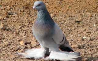Голуби агараны (туркменские)