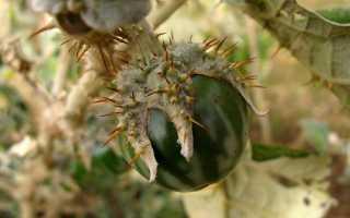 Баклажан Принц: описание и характеристика сорта, урожайность с фото
