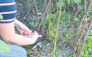 Как обрезать малину, в том числе осенью, а также как проводить формирование у ремонтантных сортов