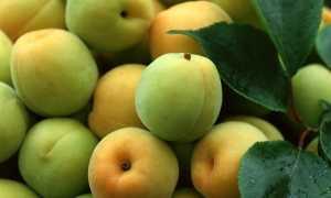 Дозревают ли персики сорванные с дерева