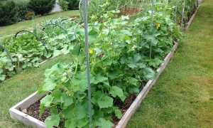 Выращиваем кустовые огурцы по всем правилам