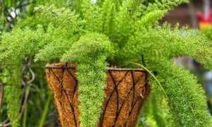 Быстрорастущие комнатные растения завоевывают доверие