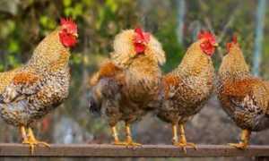 Билефельдер описание породы кур