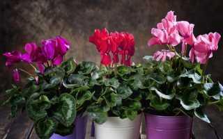 Как пересадить цикламен: варианты в домашних условиях и разными способами