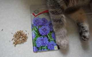 Василек махровый – роскошный скромник, выращенный из семян