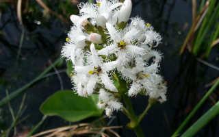Вахта трехлистная — лечебные свойства растения