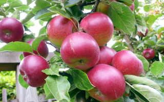 Грамотная подкормка яблонь весной и летом — залог отличного урожая