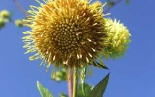 Загадочная альфредия. Атаман-трава. Уход, выращивание, размножение. Сухоцвет. Фото