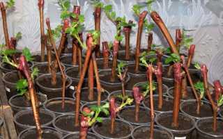 Виноградные черенки и их выращивание в зимнее время. – описание сорта, особенности посадки и ухода