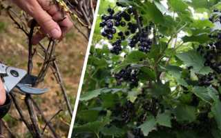 Весенний уход за смородиной: советы бывалых огородников