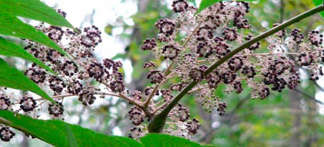 Аралия маньчжурская: дерево с уникальными лечебными свойствами