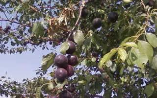 Гибрид сливы, абрикоса и персика Шарафуга, фото ? Народный целитель