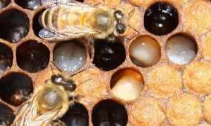 Гнилец у пчел: симптомы, лечение, профилактика