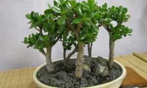 Денежное дерево официальное название