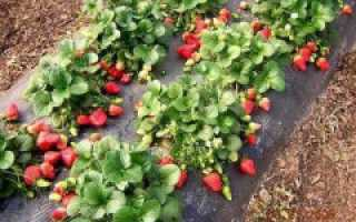Как повысить урожайность клубники