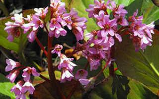Бадан толстолистный — Bergenia crassifolia: фото, условия выращивания, уход и размножение