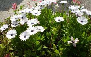 Как вырастить остеоспермум у себя в саду