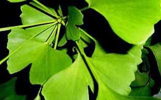 Гингобелоба дерево полезные свойства