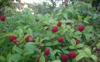Гибрид малины и клубники: уход и выращивание, фото, названия