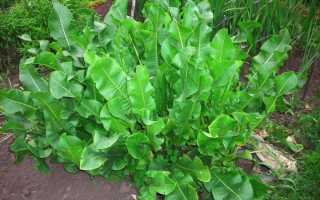 Вредители хрена и борьба с ними (10 фото): как обработать народными средствами от болезней, методы лечения листьев