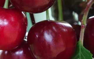 Выращивание вишни Загорьевская
