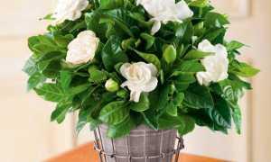 Гардения — применение в ландшафтном дизайне, особенности ухода и варианты описания растения (125 фото и видео)
