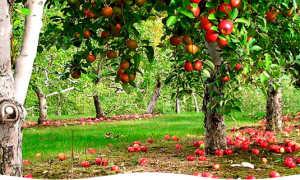 Выбор удобрений для фруктовых деревьев. Что необходимо учитывать перед покупкой удобрений?