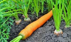Как выращивать морковь в открытом грунте в подмосковье?