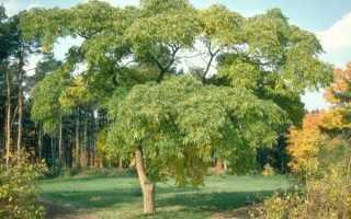 бархат амурский (феллодендрон): фото, лечебные свойства, посадка и уход