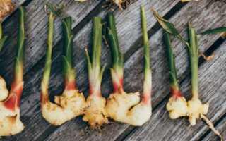 Как посадить корень имбиря и вырастить его