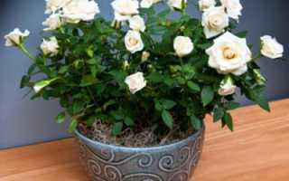 Как пересадить комнатную розу после покупки в магазине