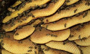 Бортевой мед: что это такое, мед диких пчел и его полезные свойства полезные свойства, как отличить от подделки, цена