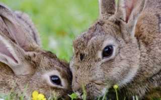 Как поймать кролика: эффективные методы, как сделать ловушки своими руками