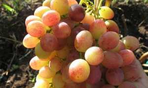 Виноград на Алтае для начинающих (сорта, выращивание и уход)