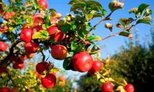 Зачем нужна подкормка яблонь осенью