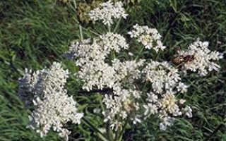 Борщевик (Heracleum) — описание, выращивание, фото