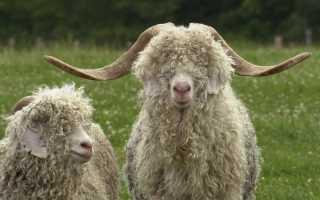 Ангорские козы и особенности их выращивания