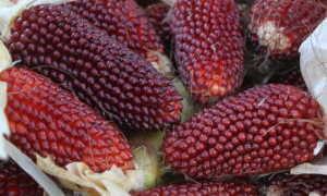 Земляничная кукуруза: характеристика и описание сорта, выращивание с фото